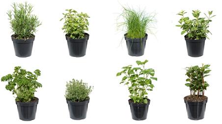 Angolo delle erbe aromatiche la fabbrica delle for Erbe aromatiche in vaso