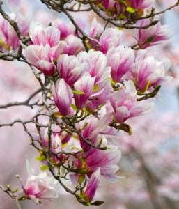 magnolia 001
