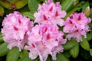 rododendro 001