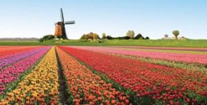 tulipani 001 (2)