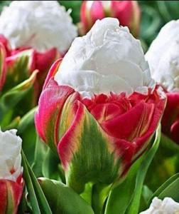 tulipani 001 (3)