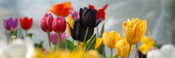 tulipani 001
